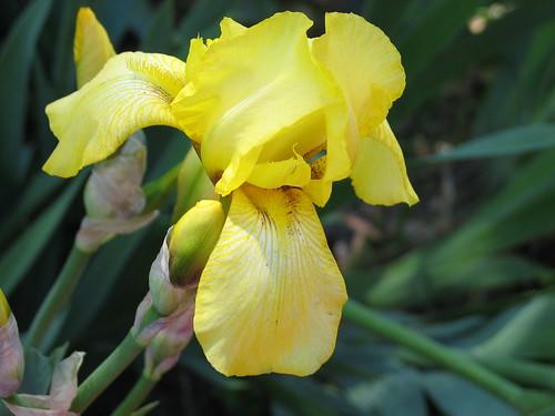 old yellow iris