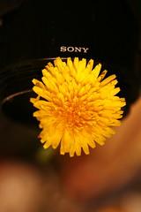 Sony Dandelion