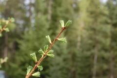Emerging tamarack needles (esagor) Tags: new minnesota forest spring needles bog emerging tamarack newgrowth cfc larixlaricina minnesotawoods cloquetforestrycenter