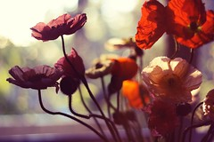 thursday dreaming. (narelle*) Tags: pink flowers red flower color green nature colors leaves garden petals spring colorful bright gardening blossoms poppy poppies bloom colourful blooms