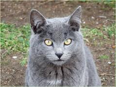 🐱Cat day... Oggi è la mia festa: MIAOOO ^_^!! (antonè) Tags: miaoday gatto chat cat 17febbraio stintino randagio occhi grigio