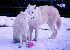Just the Two of Us (pianocats16, miau...) Tags: white wolves arctic beautiful zoo winter snow weisse wölfe