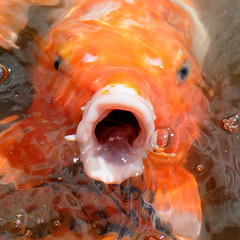 Yes, gimme a Schnitzel! (fotomanni.de) Tags: italy goldfish hunger hungry schnitzel sdtirol merano meran goldfisch schlosstrautmannsdorff trautmannsdorffcastle