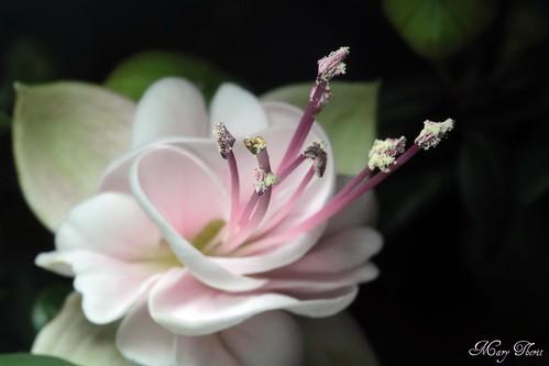 Soft Fuscia Blossom Macro