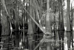 Cypress (wmkaramjr) Tags: la moss louisiana gators bayou cajun cypresstrees acadiana henederson
