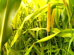 Corn Maze (The MaXeR) Tags: corn farm maze