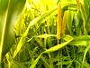 Corn Maze (The MaXeR) Tags: corn farm maze نباتات مزرعة الذرة ذرة