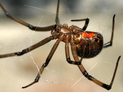 Brown Widow Closeup