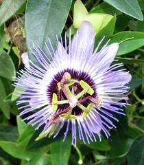 Common Passion Flower (Just chaos) Tags: passiflora passifloraceae plantae magnoliophyta magnoliopsida malpighiales