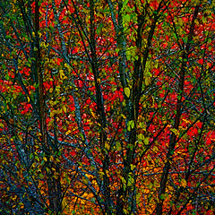 "Blue Moss & Wild Colours!/Mousses bleues & couleurs sauvages! - magicdonkey wild trees sauvages colours couleurs québec ""denis collette"" quebec gymnopedie maple"