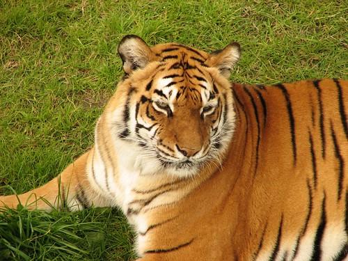 Panthera tigris tigris 1843586110_5983c64db5