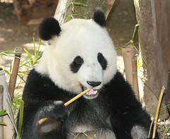Mei Sheng yesterday (kjdrill) Tags: california bear usa giant zoo panda sandiego bears chinese 177 endangeredspecies meisheng abigfave