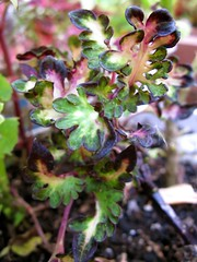 Coleus 'Embroidery'