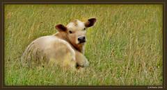 How now? (JKmedia) Tags: baby brown green grass lumix fz20 cow calf 15challengeswinner