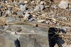 Podarcis muralis (femelle) (floky) Tags: nature fauna schweiz switzerland suisse reptile svizzera valais reptilia rettile reptilien podarcismuralis floky