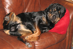 angus (reluctant_paladin) Tags: dog couch rottweiller lazydog sleepingdog
