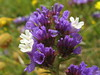 White petals, purple sepals