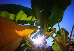 banana trees (minds-eye) Tags: blue sky food sun green beach nature sunshine fruit star leaf backyard forrest florida banana fisheye tropical stalk increadible