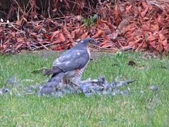 Christmas dinner (Cyclingrelf) Tags: autumn wild bird grass leaves kill hawk pigeon lawn feathers hunter backgarden prey sparrowhawk accipiter accipiternisus nisus mylawn abitmoreexcitingthanamallard
