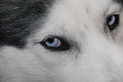 Eye'm Watchin (Jasen Miller) Tags: dog pet pets cute dogs closeup hair puppy puppies husky long mush coat einstein longhair huskies siberianhusky awww siberian wooly mushing aboyandhisdog cannine sibe sibes abhd macrosiberianhusky woolycoatsiberianhusky
