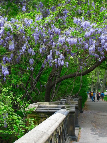 Central Park wysteria - after Lab color enhancement