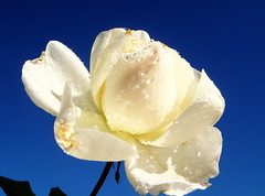 My white rose... (juntos ( MOSTLY OFF)) Tags: friends white me rose stillleben nice day odd veranda harmony 100views times blooms soe musictomyeyes naturesfinest flowerpictures fantasticflower 25faves flickrphotocontest mywinners anawesomeshot impressedbeauty aplusphoto isawyoufirst amazingshots blueribbonaward ithinkthisisart flowerwatching diamondclassphotographer theothervillage empyreanflowers aphotos shinningstar bloomingbeauty macromix top20white goldsealofquality betterthangood theperfectphotographer excellentflowers flickrsenvy flickrroseaward ontlythebestare yourpreferredpicture impressedbyyrbeauty hearthsawards flowersngardens ilovemypict flowersarefabulous anthonygroup yrpreferredpictures champagnegroup flcikrdiamondaward flicksroseawards stunningshots
