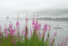 One Bright Spot on a Rainy Day (NaturalLight) Tags: alaska river day rainy fireweed mywinners platinumphoto anawesomeshot