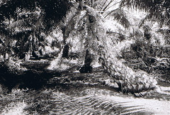 oil palm (PHI IOTA) Tags: forest peat swamp