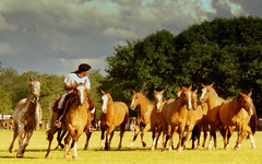 Los gateados (Eduardo Amorim) Tags: horses horse southamerica argentina criollo caballo cheval caballos cavalos pferde herd cavalli cavallo cavalo gauchos pferd pampa hest hevonen chevaux gaucho  amricadosul hst gacho  campero amriquedusud provinciadebuenosaires  gachos  sudamrica sanantoniodeareco suramrica amricadelsur  areco sdamerika gregge crioulo troupeau caballoscriollos herde criollos  tropillas  pampaargentina camperos americadelsud tropilhas tropilla  crioulos cavalocrioulo americameridionale holidaysvacanzeurlaub tropilha caballocriollo campeiros campeiro eduardoamorim cavaloscrioulos pampaargentino