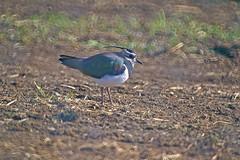IMGP0119 (ken--) Tags: bird lapwing yao tageri
