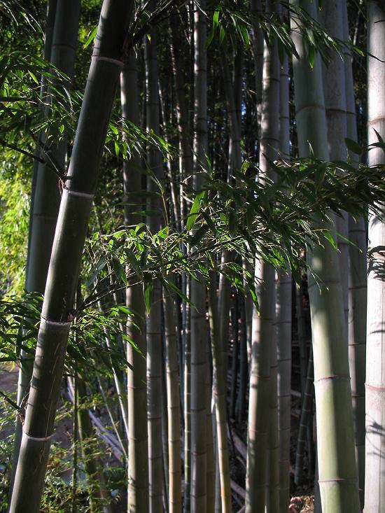 _bamboo_
