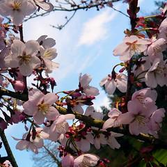 Parc de Maulévrier - Fleurs de cerisier