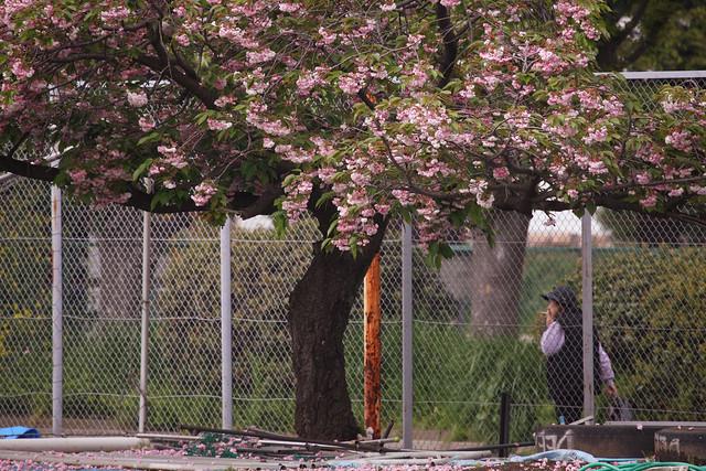四月末の桜散り際