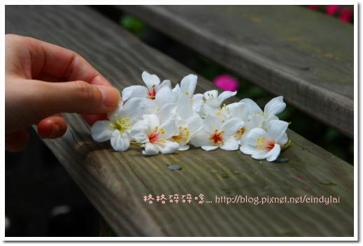 20080503桐花_062