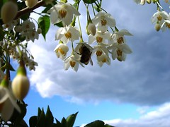 Honey Bee at Work (Tom in Tacoma) Tags: blue sky tree insects sensational styrax japanesesnowball awesomeblossoms