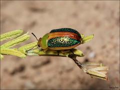 rainbow beetle (teejaybee) Tags: beetle acacia chrysomelidae