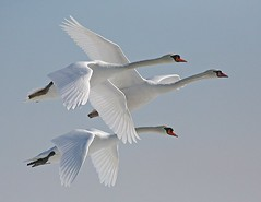 Swan flight (RRG .CA) Tags: three swan bravo flight birdwatcher goldenglobe fpg abigfave colorphotoaward superaplus aplusphoto diamondclassphotographer flickrdiamond theunforgettablepictures naturewatcher top20white excapture bestofanimals goldwildlife tup2 multimegashot salveanatureza theenchantedcarousel aboveandbeyondlevel1 aboveandbeyondlevel2 aboveandbeyondlevel3
