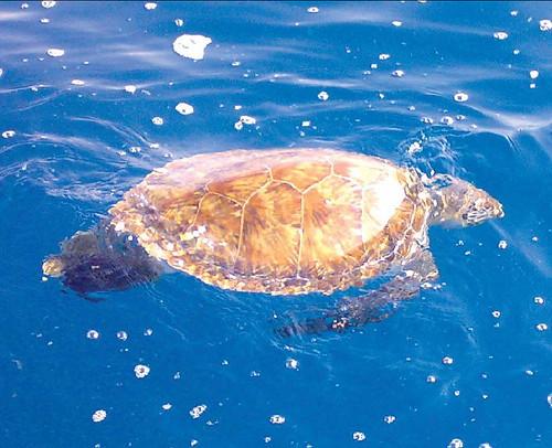 Cette tortue de mer morte flotte à la surface au large de halate en