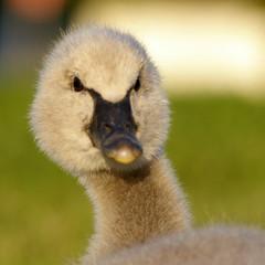 Baby Swan (Axemaniac-Art) Tags: baby bird spring swan pentax bokeh cygnet australia victoria hero winner 2008 waterbirds bendigo bigmomma faithfull gamewinner photofaceoffwinner pentaxk100dsuper september2008 k100dsuper pfogold axemaniac september262008 storybookwinner pregamewinner