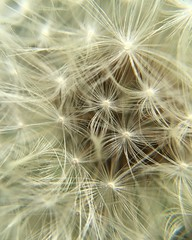 Macro (taylormurray014) Tags: macro dandelion flower macroflower nature wish makeawish weeds