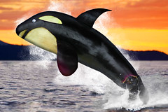"Eggplant Orca Whale (A product of ""Aubergenetic Engineering""!) (RR) Tags: food playing silly art water goofy fun with eggplant background humor killer aubergine whale orca zucchini splash killerwhale wal ballena anthropomorphic playingwithfood baleia baleine berenjena balina berinjela anthropomorph abobrinha patlican antropomrfico killerwal antropomorfico anthropomorphe mybelatedbirthdaygifttocris brincandocomacomidablog"