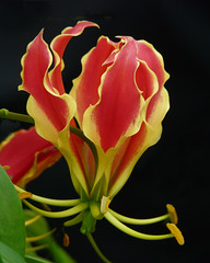 Flame Lily (njchow82) Tags: red plant canada flower macro calgary nature yellow garden exotic alberta tropical unusual mb beautifulexpression flamelily masterphotos glorylily floweronblack dmcfz18 thesuperbmasterpiece njchow82 thecelebrationoflife