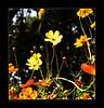late summer  [explored] (e.nhan) Tags: flowers light flower art nature closeup landscape colorful colours dof bokeh arts cosmos backlighting enhan