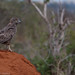 Tsavo Ouest, Brown Snake-Eagle