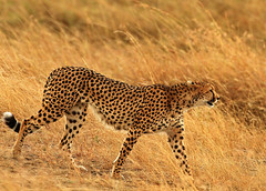 Passing through! (Rainbirder) Tags: kenya cheetah maasaimara acinonyxjubatus rainbirder