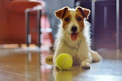 Guardian Russell (Infinite Legends) Tags: dog animal ball puppy jack rusell russell play bokeh russel terrier pup fetch rusel