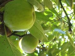 Pomme 3 (gilles.suignard) Tags: bretagne pomme saintcoulitz