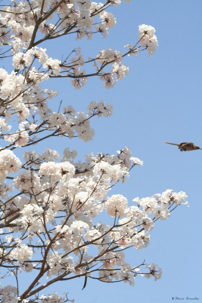 Ipê-branco (Tabebuia roseo alba) e Sabiá-do-campo 09-10-07 246