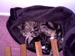 Holly and her babies (sammac2007) Tags: cats beautiful kittens holly