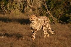 cheetah (Astrid Kopp) Tags: southafrica safari cheetah südafrika gamedrive gepard suedafrika kwandwe privategamereserve astridwalter eccalodge flickrbigcats